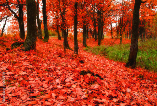 Foto op Aluminium Rood traf. Autumn oak woodland in cloudy weather - autumn colorful landscape with fallen autumn leaves. Autumn landscape view.