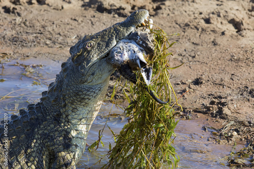 Photo  Big crocodile eats the head of springbok with horns