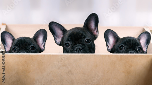 Fotografie, Obraz Three puppies look out from the enclosure