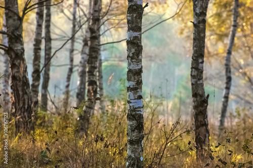 BRZOZA - BRZOZOWY GAJ - 106767123