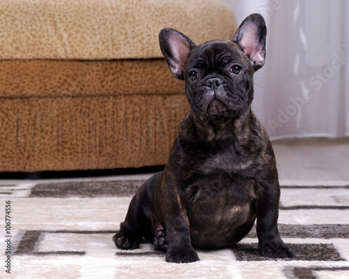 Tuinposter Franse bulldog A puppy in the apartment. Dog thoroughbred. French Bulldog. Puppy three months