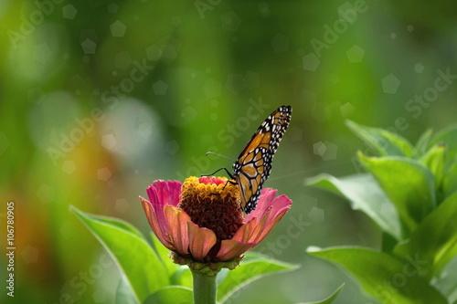 Fotografie, Obraz  Hermosa mariposa monarca,