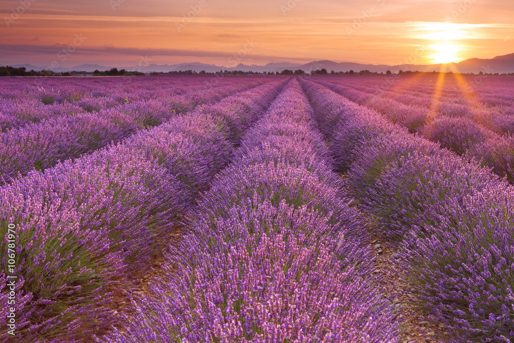 Poster  Sunrise over fields of lavender in the Provence, France