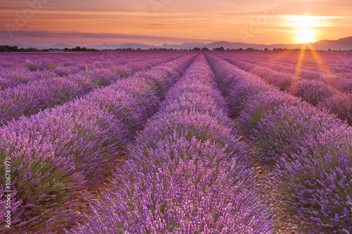 Fotografia  Sunrise over fields of lavender in the Provence, France