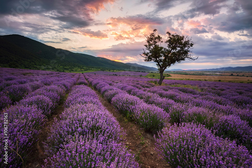 Poster Aubergine Lavender dawn. Stunning landscape with lavender field at sunrise, Bulgaria.