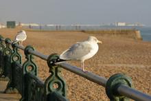 Seagull On Brighton Seafront, ...