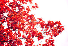 Japanese Red Maple Leaf Isolated On White Background