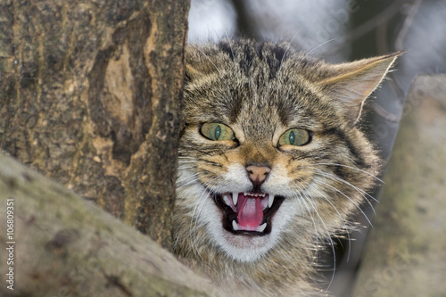 Photo  European wild cat