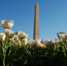 Tulips Surrounding Washington ...