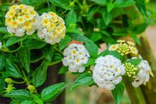 Closeup Of Lantana Aculeata Flowers