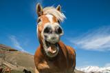 Fototapeta Konie - Primo piano di un cavallo pazzo