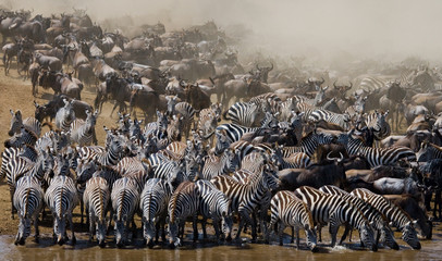 FototapetaBig herd of wildebeest is about Mara River. Great Migration. Kenya. Tanzania. Masai Mara National Park. An excellent illustration.