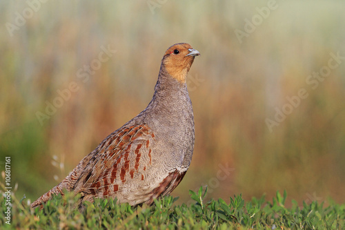 Photo Grey partridge beautiful poses in the grass