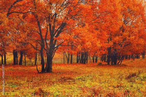 Foto op Canvas Baksteen Autumn scenic view of old oak trees with bright red leaves