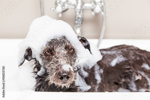 Vászonkép  Funny Unhappy Wet Terrier Dog in Bathtub