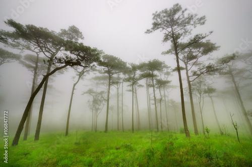 Fototapeta pine tree forest in the mist at Phu Soi Dao national park Uttaradit province Thailand obraz na płótnie