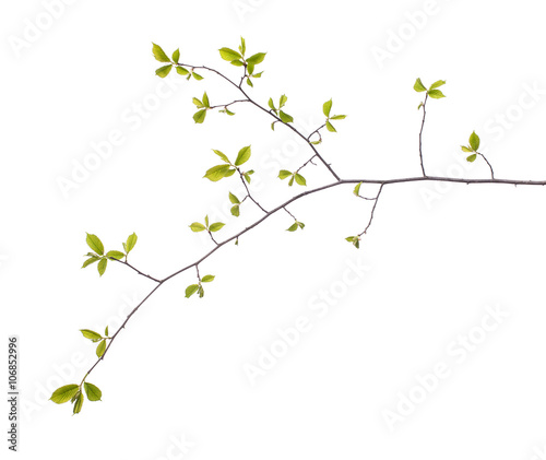 Foto Early spring flowering green tree branch isolated on white