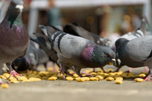Pigeons Feeding At City Square.