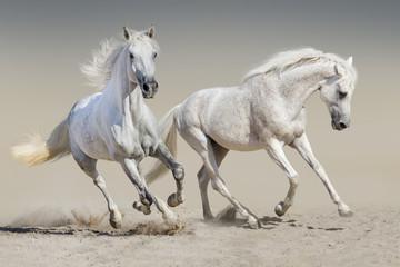 Two white horse run