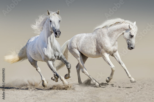 obraz dibond Two white horse run