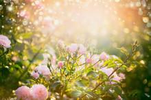 Pink Pale Roses Bush Over Summ...