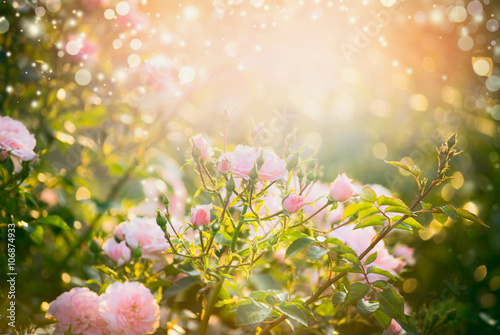 Ingelijste posters Roses Pink pale roses bush over summer garden or park nature background. Roses garden, outdoor with sunshine and bokeh
