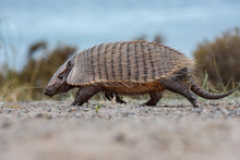 Patagonia Armadillo Close Up P...