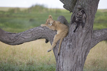 Lion Cub Sleeping On A Tree Br...
