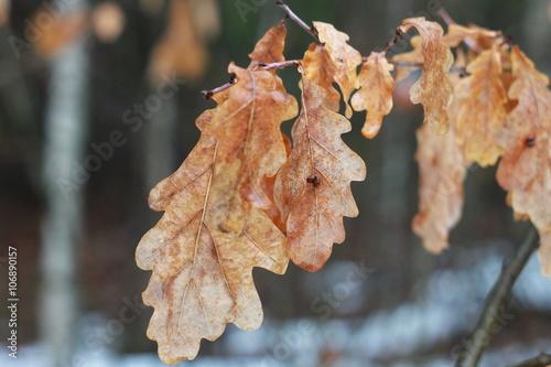 Valokuva  Сухие листья дуба