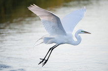 Great Egret Glides Over Water