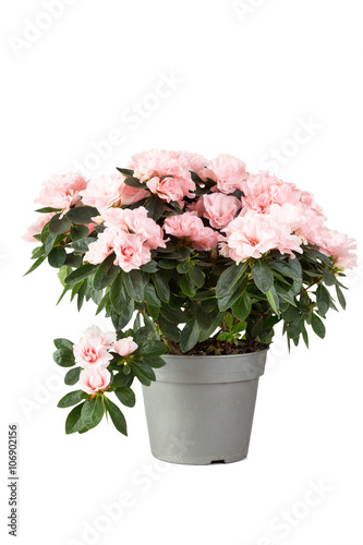 Papiers peints Azalea Pink azalea in a flowerpot, isolated on a white background