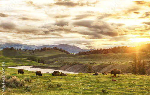 Photo Stands Bison Buffaloes