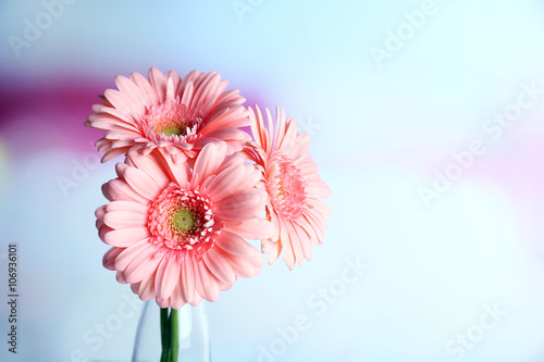 Fototapety, obrazy: Bouquet of pink gerberas on blurred background, close up