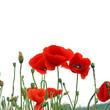 Feld mit roten Mohnblumen im Sommer