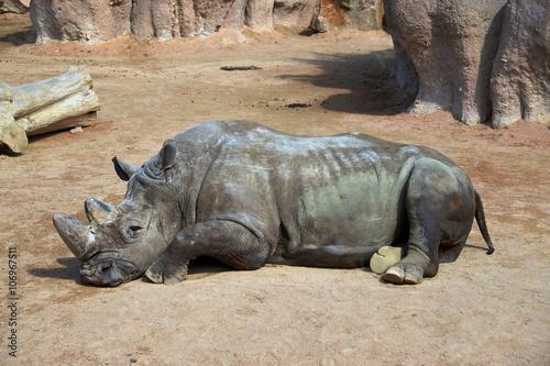 Fényképezés  un grosso rinoceronte si riposa sdraiato per terra