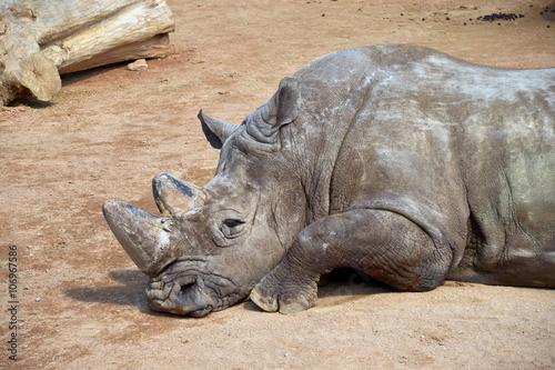 Fotografija  un grosso rinoceronte si riposa sdraiato per terra