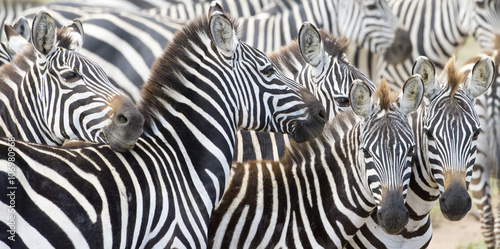Herd of plains zebra (Equus burchellii) during migration, Serengeti national park, Tanzania. - 106980968