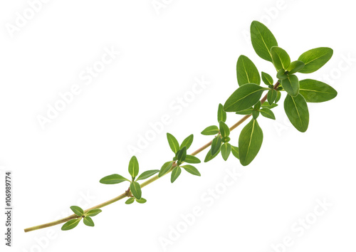 thyme sprig isolated