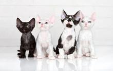 Four Adorable Devon Rex Kittens
