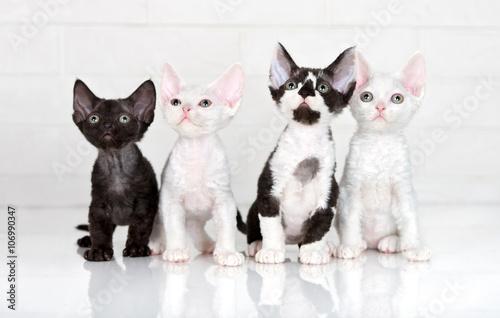 Fotomural four adorable devon rex kittens