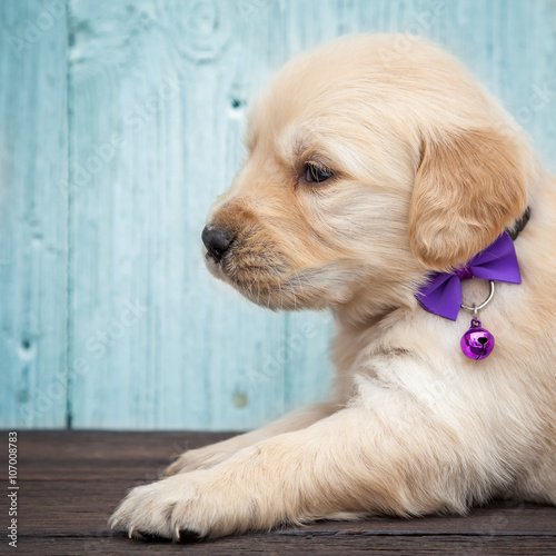 Photo  Golden retriever puppy