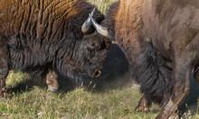 Two Bull Bison Spar Close Up Dust Flying