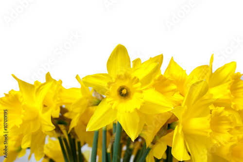 In de dag Narcis Daffodils isolated on White