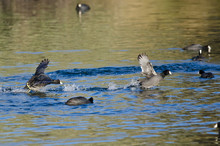 Two American Coots Engaged In A Fight On The Water