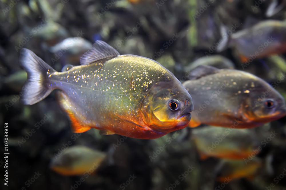 Fotografering  Tropical piranha fishes