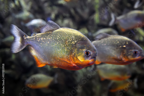 Tropical piranha fishes Canvas Print