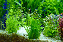 Water Plant Or Aquatic Plant O...