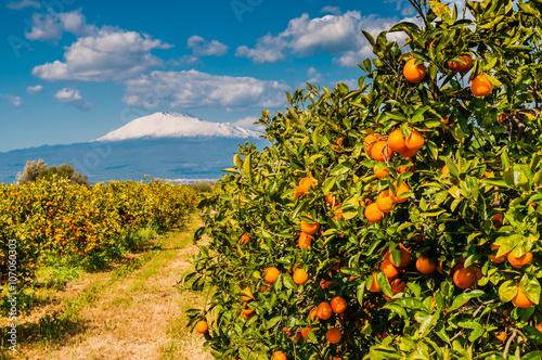 Fotografie, Obraz  Orangenplantage am Fuße des schneebedeckten Ätna; Sizilien