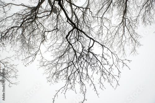 Fotografie, Obraz  tree  branch in heavy fog morning
