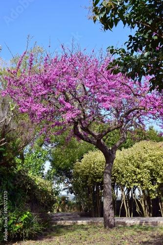 Fotografie, Obraz  Cercis Siliquastrum: L' albero di Giuda